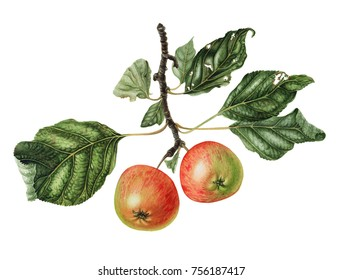 Apple tree branch.  Hand drawn illustration isolated on white. Botanical illustation. can be used as greeting card, invitation card, postcards and summer background.