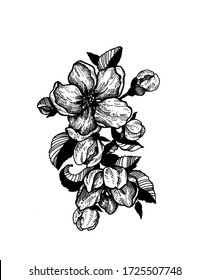 apple tree flowers tattoo with leaves and buds hand drawn black and white sketch isolated on the white background line art