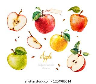 Apples. Watercolor botanical illustration.