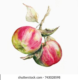 Apples . Watercolor illustration on white background