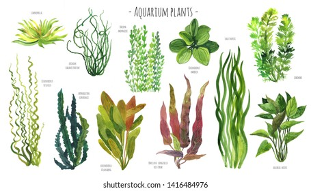 Aquarium plants watercolor illustration set. Red, blue, green and yellow water plants. Freshwater plants big set with names.