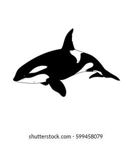 Aquatic Animals Killer Whale Drawing Illustration