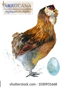 Araucana hen. Poultry farming. Chicken breeds series. domestic farm bird