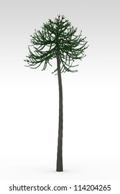 Araucaria old prehistoric tree isolated