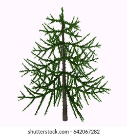 Araucaria sp Tree 3d illustration - Araucaria is an early evergreen conifer that lived in the Triassic Period and is living today as trees such as the Monkey Puzzle tree.
