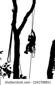 An arborist descends from tree summit after cutting the intended branches using safety ropes and harness.