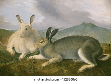 Arctic Hare, by John James Audubon, 1841, American painting, watercolor and oil paint on paper. Audubon's detailed painting was the visual source for hand colored lithographs published in, 'The Vivip