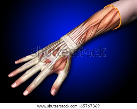 Arm Hand Muscles Tendons Hand Forearm Stock Illustration - Royalty ...