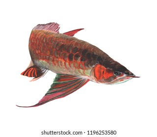 Arowana Fish Watercolor painting isolated. Watercolor hand painted Arowana Fish illustrations. Arowana Fish isolated on white background