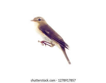 art drawing watercolor bird chiff-chaff (warbler) on white background