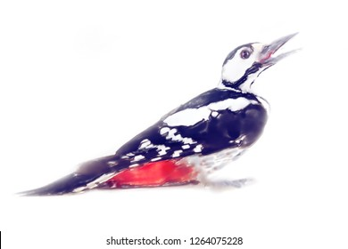 art drawing watercolor bird woodpecker. Greater spotted woodpecker on white background