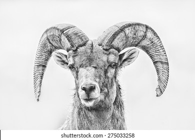 Artistic Intent; Big Horn Sheep photo with sketch and black and white filter applied; full front close up looking at photographer