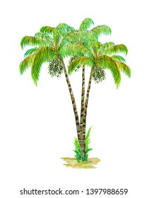 Asai palm trees. Hand painted watercolor illustration isolated on white background.
