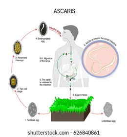 Ascaris lumbricoides life cycle. The arrows indicate the direction of worm migration in the human body and environment. Eggs, larva and adult specimens of ascarids