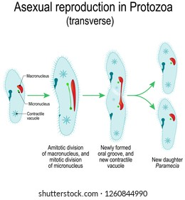 Asexual reproduction in Protozoa (transverse). Paramecia division. illustration for educational and science use