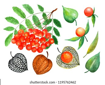 Ashberry and physalis. Watercolor illustration. Ashberry and physalis. Illustration for design, decor, books, printing on fabrics.