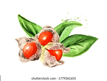 Ashwagandha  leaves and berries or Withania somnifera, Indian ginseng, poison gooseberry or winter cherry. Hand drawn watercolor illustration  isolated on white background