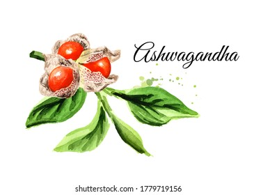 Ashwagandha plant with leaves and berries or Withania somnifera, Indian ginseng, poison gooseberry or winter cherry. Hand drawn watercolor illustration,  isolated on white background