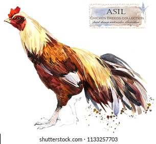 Asil Breed of Chicken Images, Stock Photos & Vectors