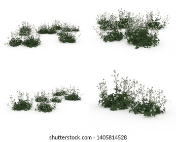 Astrantia in white background, 3D illustration, 3D rendering