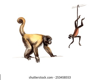 Atelidae: silvery woolly monkey (Lagothrix poeppigii) and Geoffroy's spider monkey (Ateles geoffroyi), also known as black-handed spider monkey