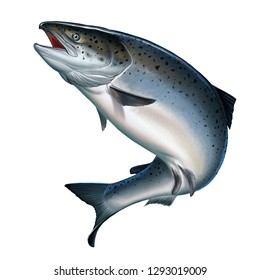 Atlantic salmon or pink salmon on a white background. Red salmon. Fishing on the river northern fish.