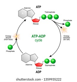 ATP ADP cycle. Adenosine triphosphate (ATP) is a organic chemical that provides energy for cell. intracellular energy transfer. Adenosine diphosphate (ADP) is organic compound for metabolism in cell.