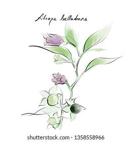 Atropa belladonna, deadly nightshade, medical plant botanical species hand drawn illustration