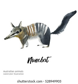 Australian animals watercolor illustration hand drawn wildlife isolated on a white background.  Numbat.