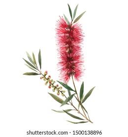 Australian Callistemon watercolor flower on a white background. Red bottlebrush