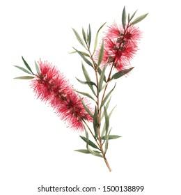 Australian Callistemon watercolor flower on a white background, leaves and buds,Red bottlebrush