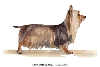 Australian silky terrier painted in watercolor in profile