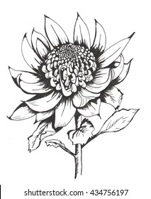 Australian Waratah. Line drawing tattoo single bloom with leaves isolated. Suit coloring book.