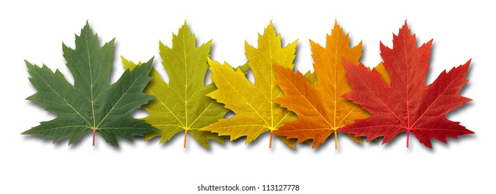 Autumn border element Leaves with five maple leaf foliage arranged in a multi colored seasonal themed concept as a symbol of the fall transition and change in weather on a white background.