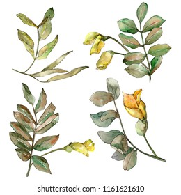 Autumn green acacia leaves. Leaf plant botanical garden floral foliage. Isolated illustration element. Aquarelle leaf for background, texture, wrapper pattern, frame or border.