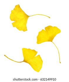Autumn yellow ginkgo leaves. Watercolor collection