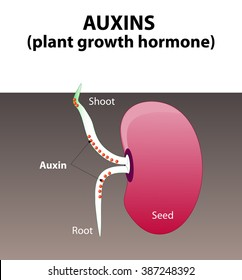 Auxins. plant hormones for plant body development. Seed germination beans.