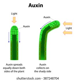 Auxins. plant hormones for plant body development.