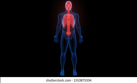 Axial Skeleton of Human Skeleton Anatomy X-ray 3D rendering