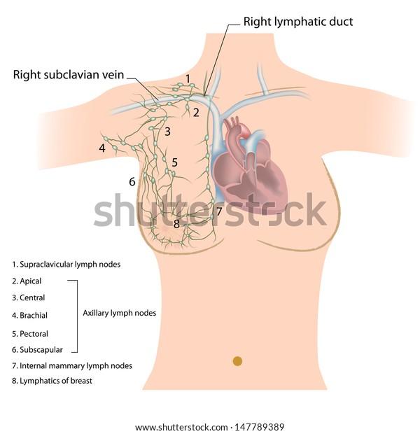Axillary groups of lymph nodes