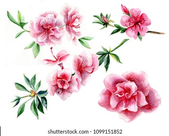 Azalea branch in blossom. Set of flowers. Watercolor illustration on white isolated background. Botanical hand drawing.