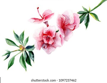 Azalea branch in blossom. Watercolor flower illustration on white isolated background. Botanical hand drawing.