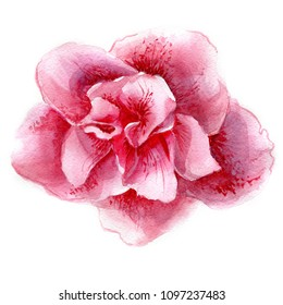 Azalea flower in blossom. Watercolor illustration on white isolated background. Botanical hand drawing.