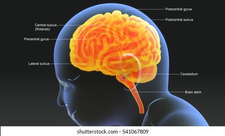 Baby brain 3d illustration