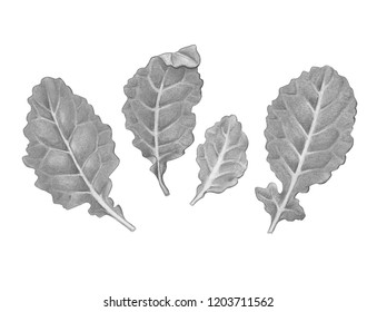 Baby Kale Leaves Pencil Illustration Isolated on White