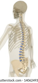 Back 45 degree rotation view of human spine and pelvis. Discs of spine highlighted in blue. Includes pelvis, sacrum and cervical (C1-C7), thoracic (T1-T12) and lumbar (L1-L5) vertebrae. 3D rendering