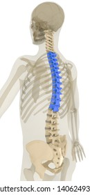 Back 45 degree rotation view of human spine and pelvis. Thoracic vertebrae (T1-T12) highlighted in blue. Includes pelvis, sacrum and cervical (C1-C7), thoracic and lumbar vertebrae. 3D rendering