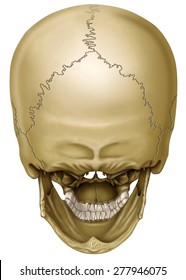 back view of human skull