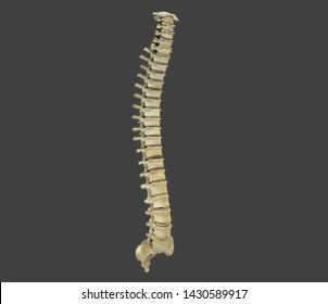 backbone human anatomy 3d rendering