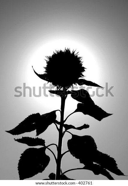 backlit sunflower in black and white